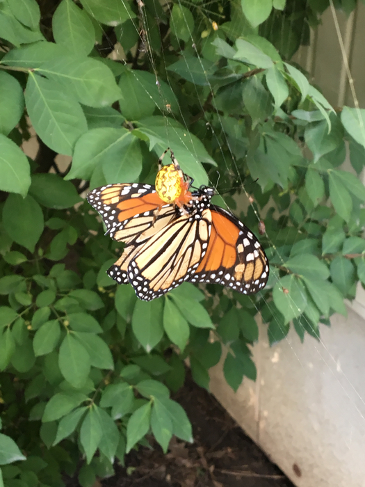We tried to save this Monarch that was trapped in the spider web.